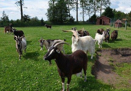 Kozy w Mini ZOO w Jantarze