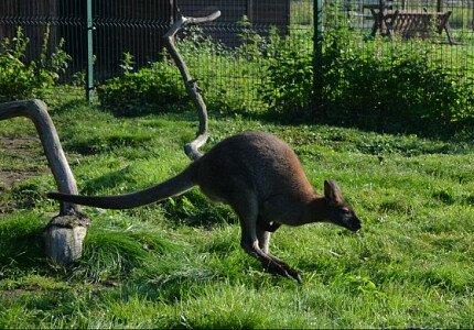 Kangur rdzawoszyi w Mini ZOO w Jantarze
