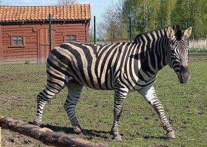 Zebra stepowa w Mini ZOO w Jantarze